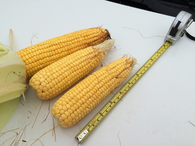 Measuring up SD corn. -2015 Pro Farmer Tour photo via Ag Web's Allison Rice.